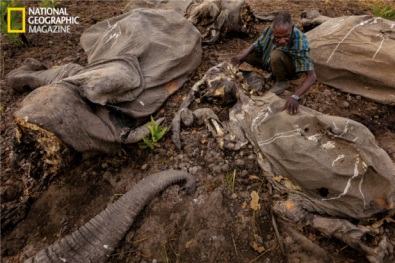 elephant_poaching