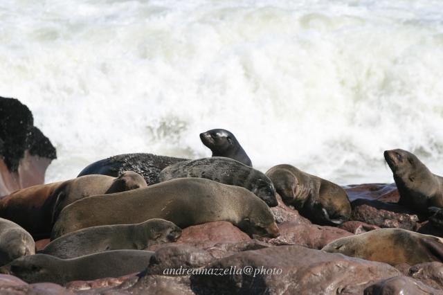 Namibia_ocean_otarie