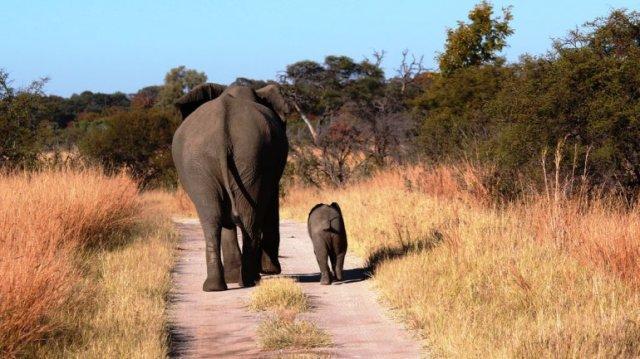 elephant_Hwange