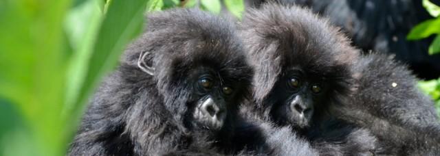 gorilla_babies_bwindi