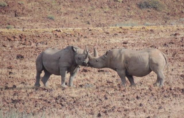rhino-kiss-2