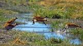 Un gruppo di Lechwe (antilopi rosse) nel Caprivi, la regione più settentrionale della Namibia ricca di acqua (foto di Andrea Mazzella)